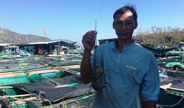 Khánh Hòa:  Nhờ nuôi tôm hùm xanh trên biển, người dân lãi nửa tỷ mỗi năm
