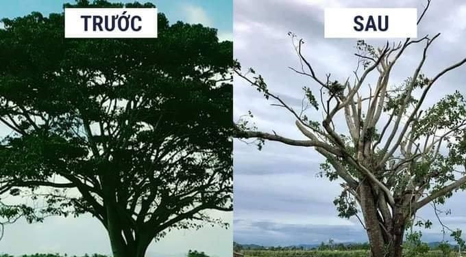 """Sau bão số 5, dân mạng tiếc hùi hụi chia sẻ hình ảnh cây """"Mắt biếc"""" trơ trụi"""