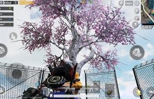 """Game thủ PUBG Mobile có thể nhận đồ 3, súng """"thính"""" khi tưới cây hoa anh đào ở bản 0.12"""